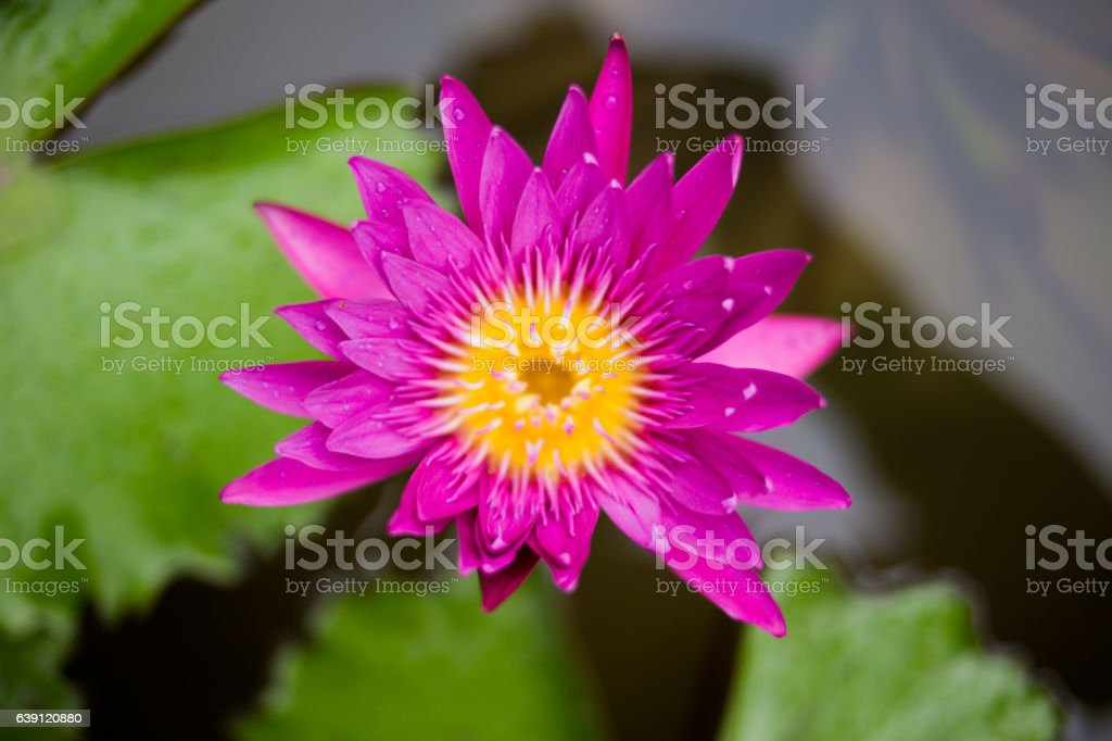 lotus flower is on a river stock photo