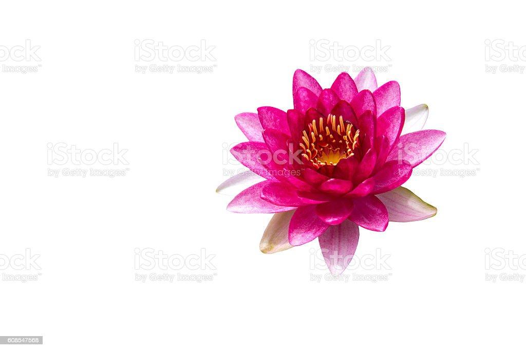 Fleur de lotus, isolé sur fond blanc  photo libre de droits