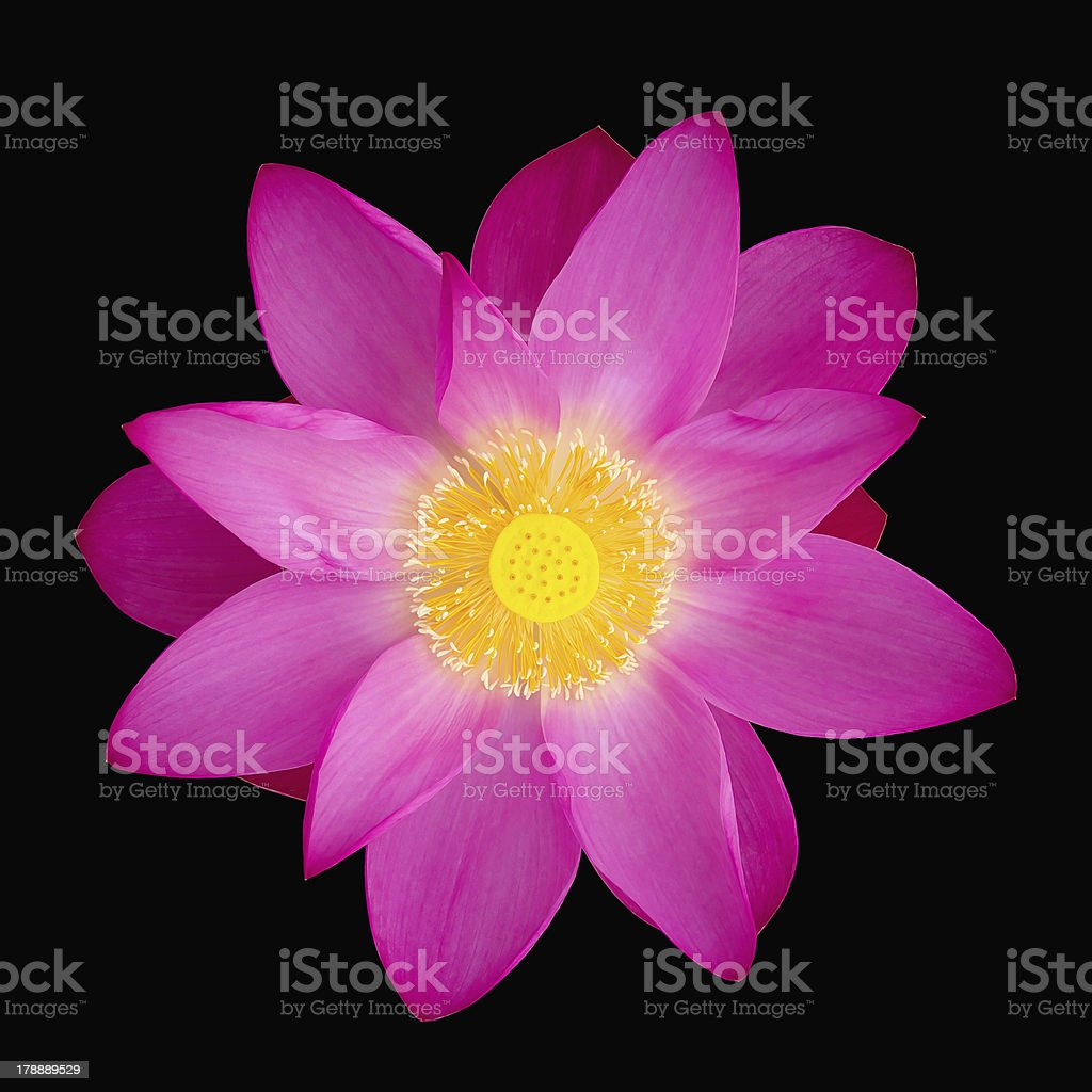 Lotus flower Isolated royalty-free stock photo