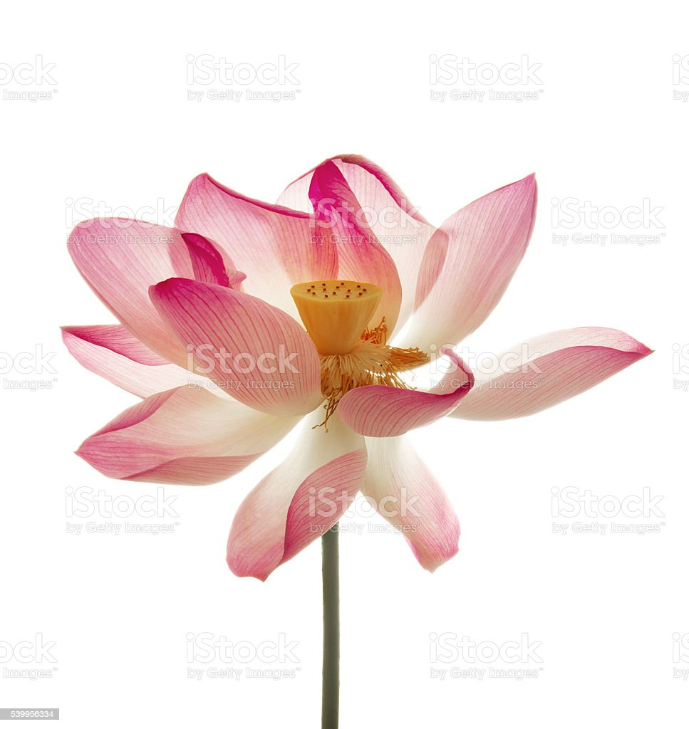 Lotus flower isolated white stock photo