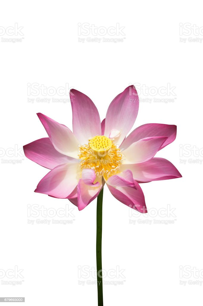 lotus flower on isolate white background stock photo