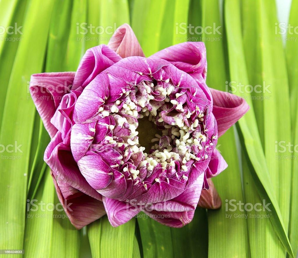 Lotus Flower on Pandan royalty-free stock photo