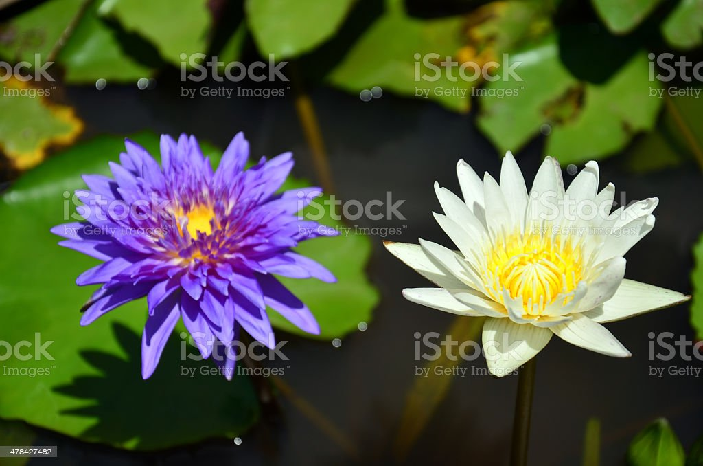 Lotus Flower or Water Lily Blossom stock photo