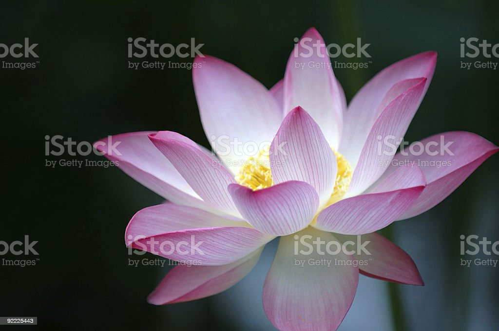 Lotus flower over dark background royalty-free stock photo