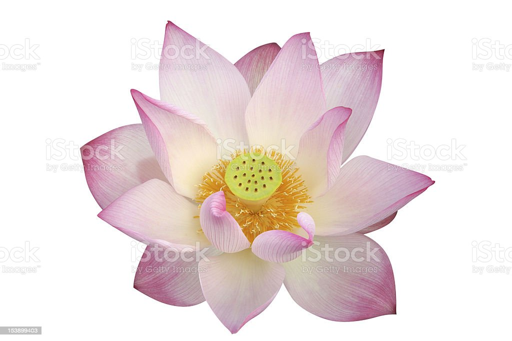 lotus flower - path included stock photo