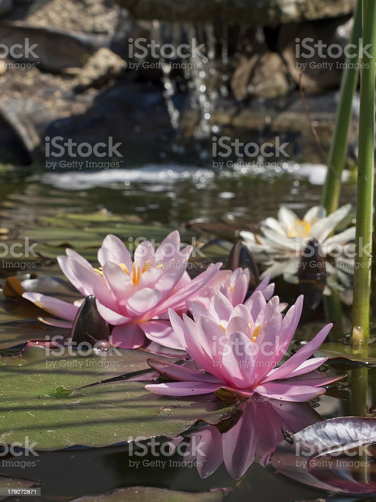 lotus flower royalty-free stock photo