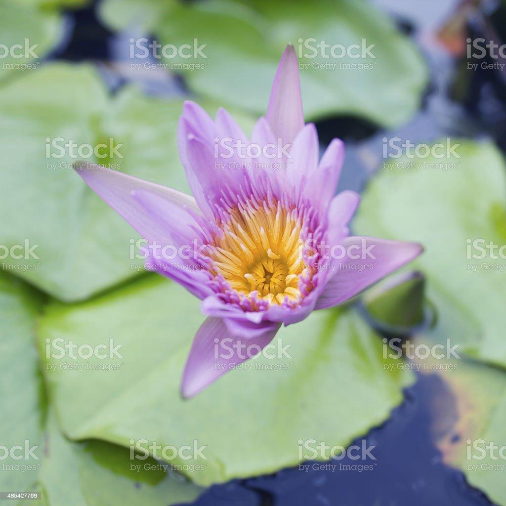 Lotus flower. royalty-free stock photo