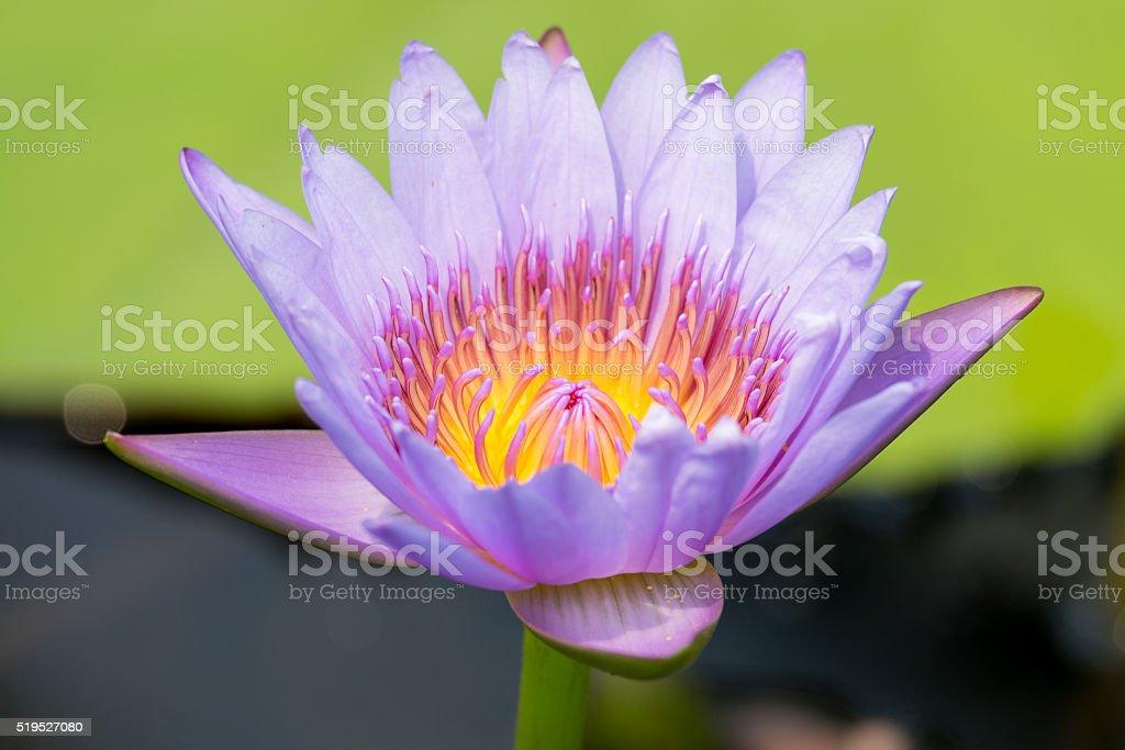 Lotus flower stock photo 519527080 istock flower lotus root peace sign gesture plant sign mightylinksfo