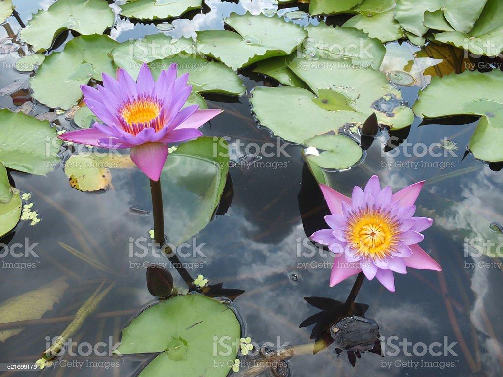 Flor de loto foto de stock libre de derechos