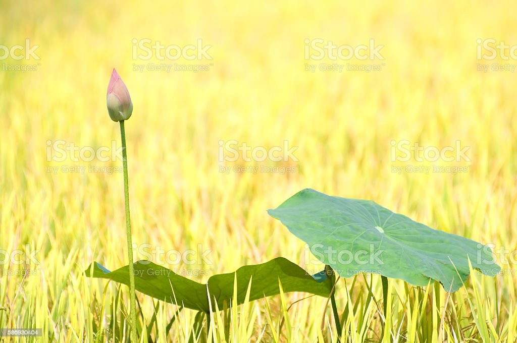 Lotus flower stock photo