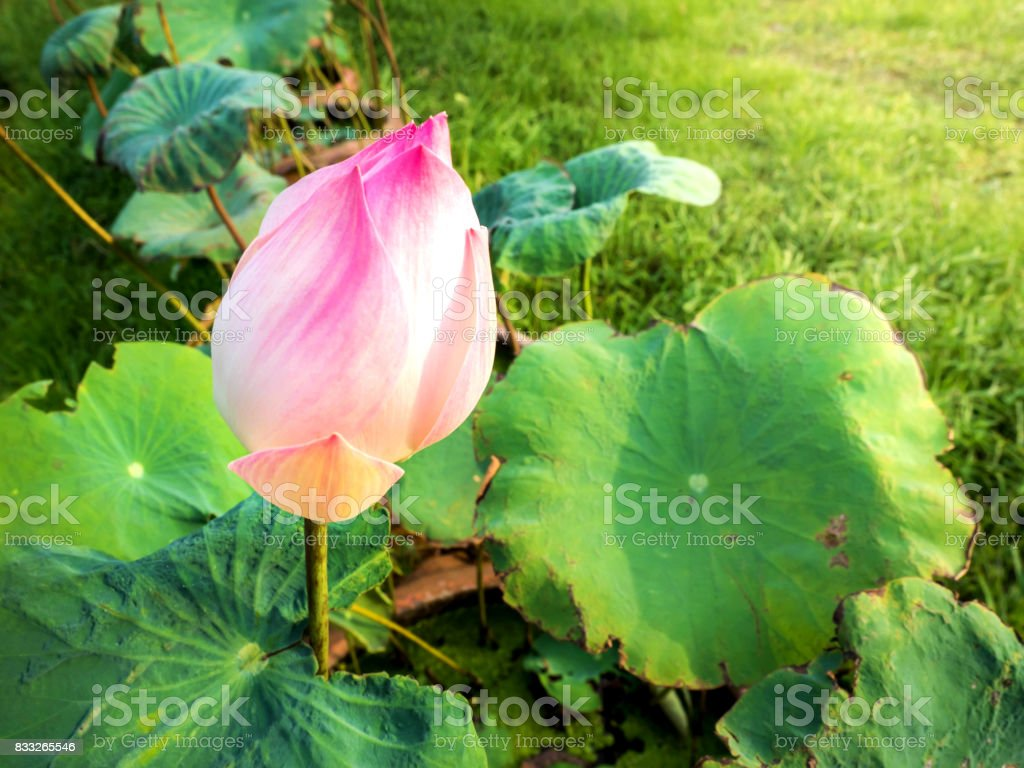 Lotus flower plants stock photo