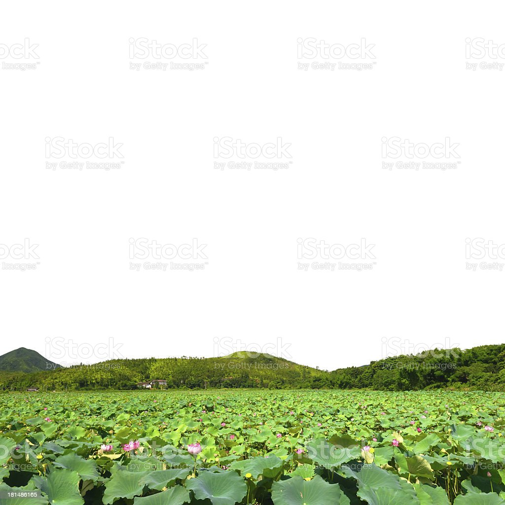 lotus flower pond isolated royalty-free stock photo