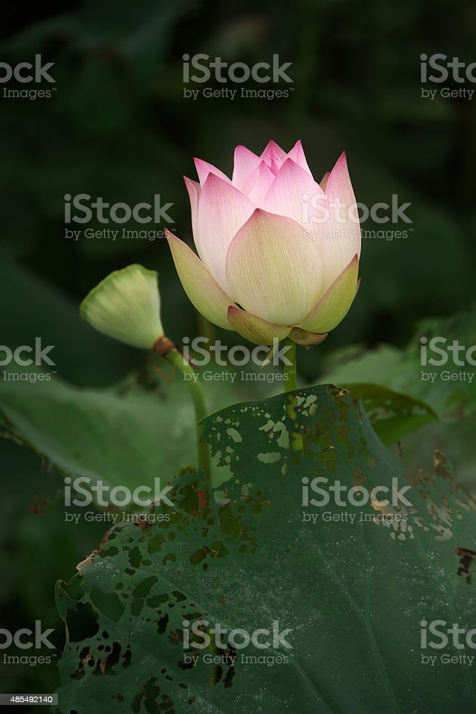 Lotus flower ready to burst in the pond stock photo