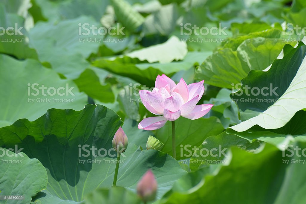 Lotus Flower Summer Background stock photo