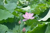 Lotus Flower Summer Background