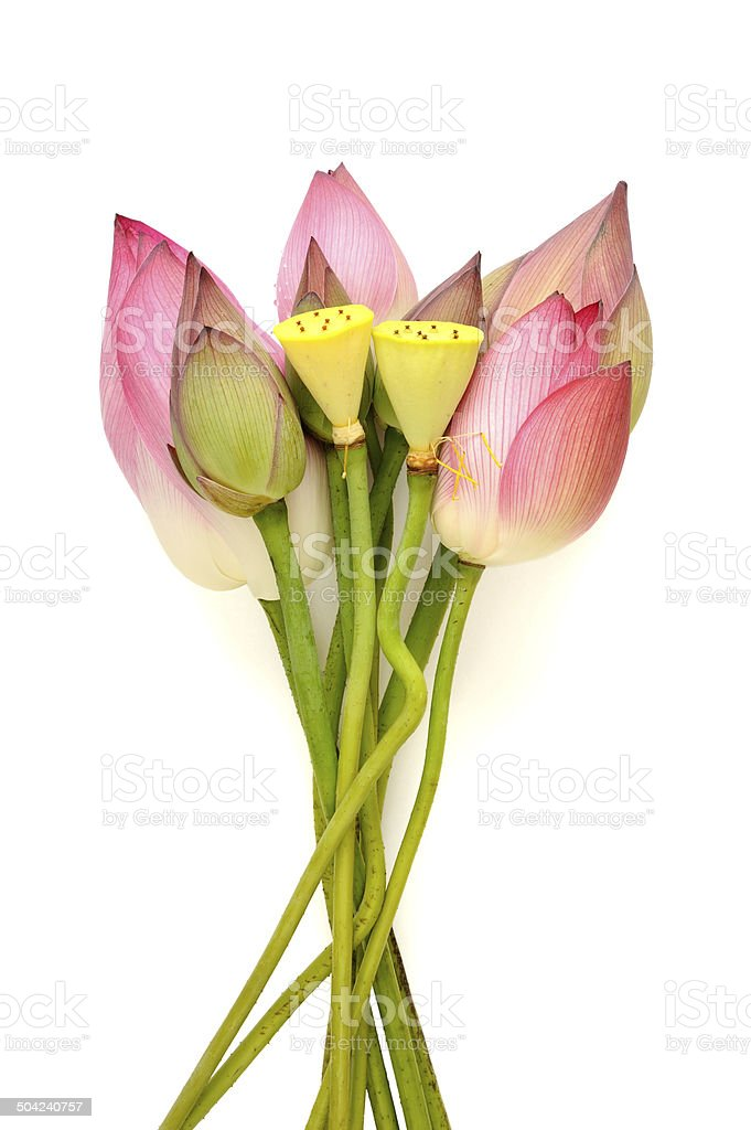 Lotus flower with seeds stock photo