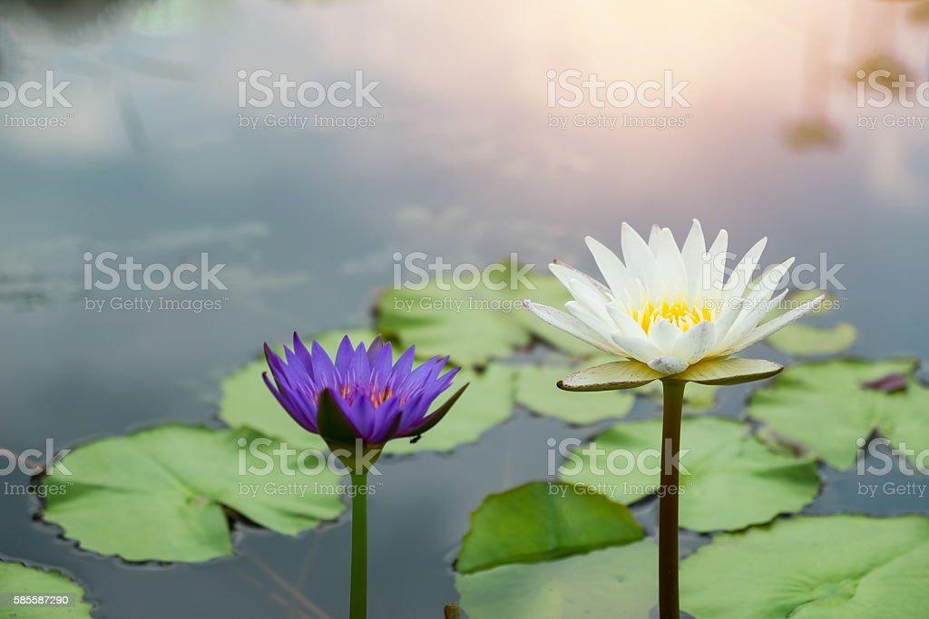 Lotus flower with sunshine Lizenzfreies stock-foto