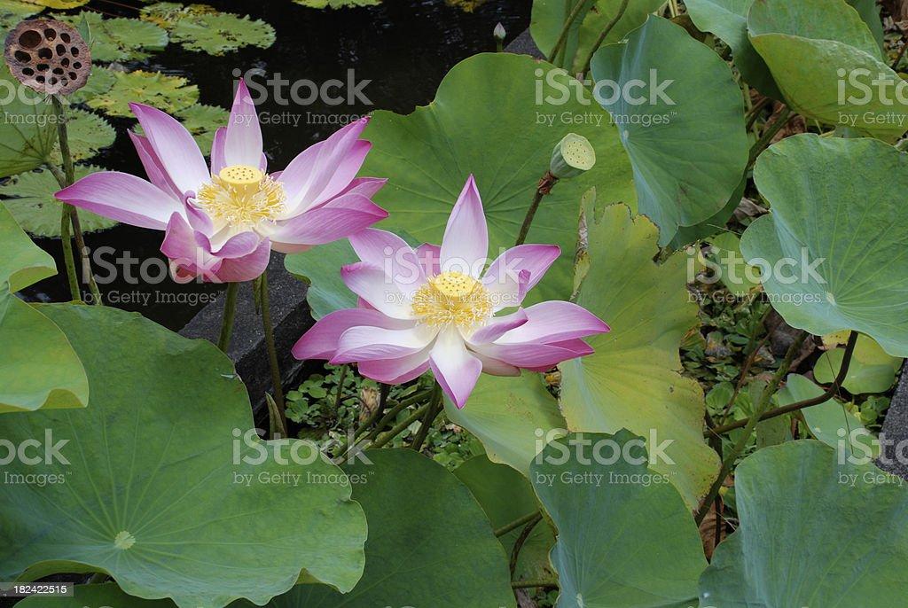 Lotus Flowers 1 royalty-free stock photo