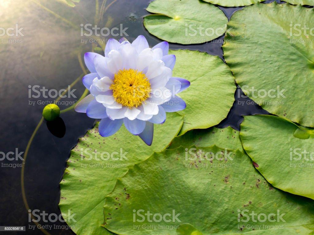 lotus flowers blooming in summer stock photo