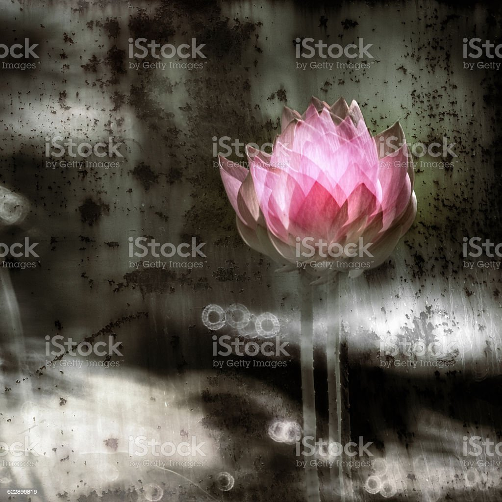 Lotus flowers in the pond stock photo