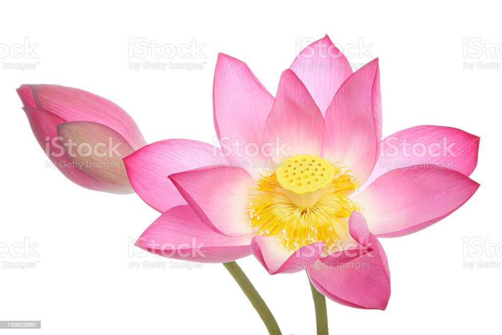 Lotus flowers on white background royalty-free stock photo