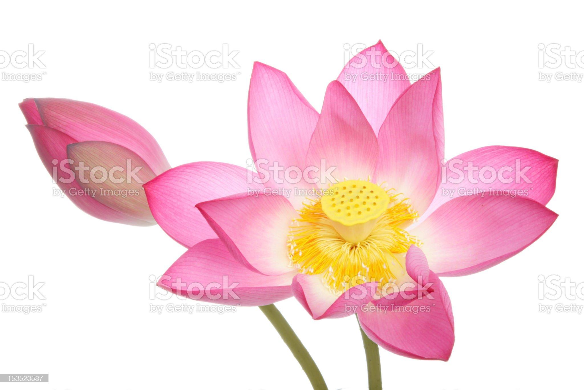 Lotus flowers on white background royalty-free stock photo
