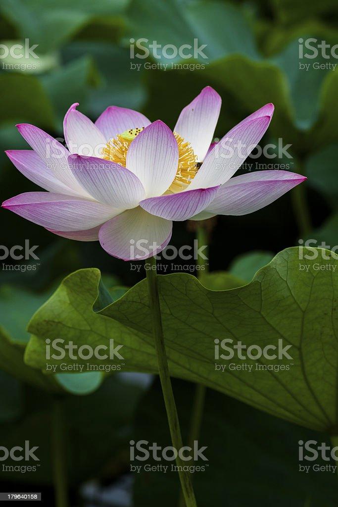 Lotus flowers royalty-free stock photo