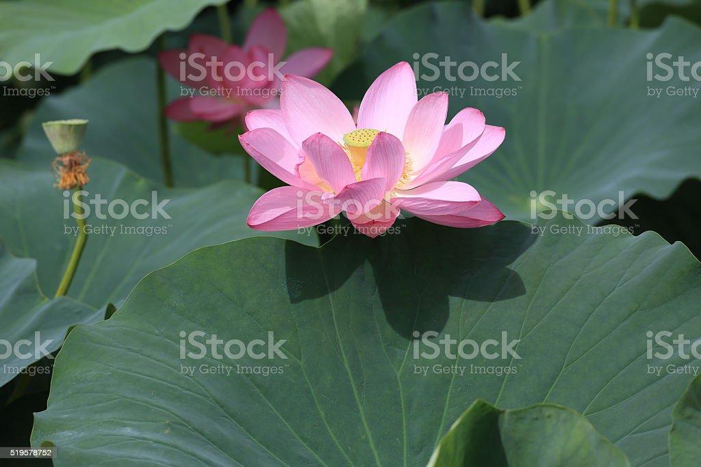 lotus flowers stock photo