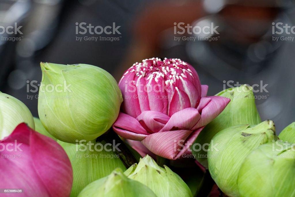 Lotus for worship the Buddha. stock photo