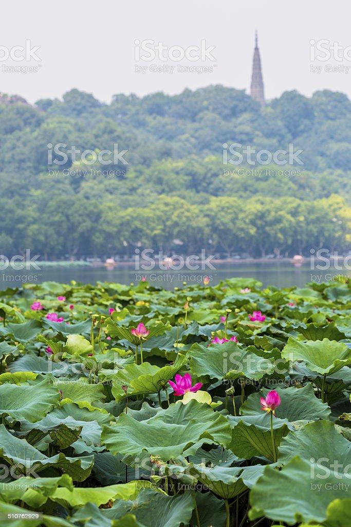 Lotus garden stock photo