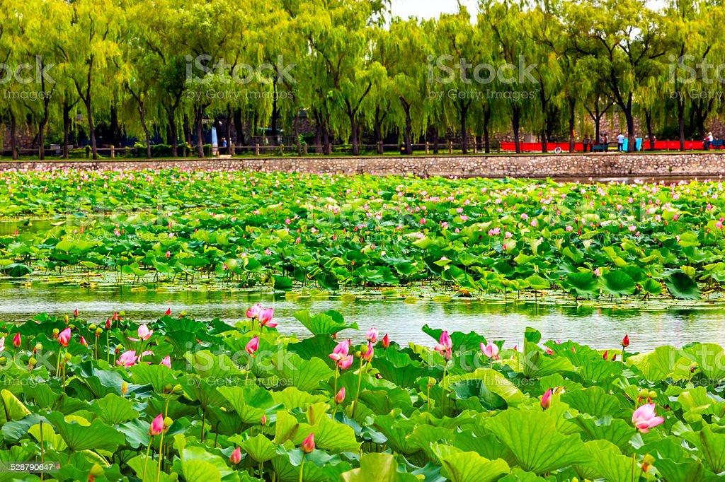 Lotus Garden Summer Palace Beijing China stock photo