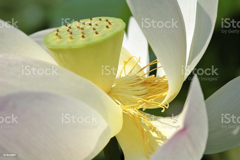 Lotus heart royalty-free stock photo