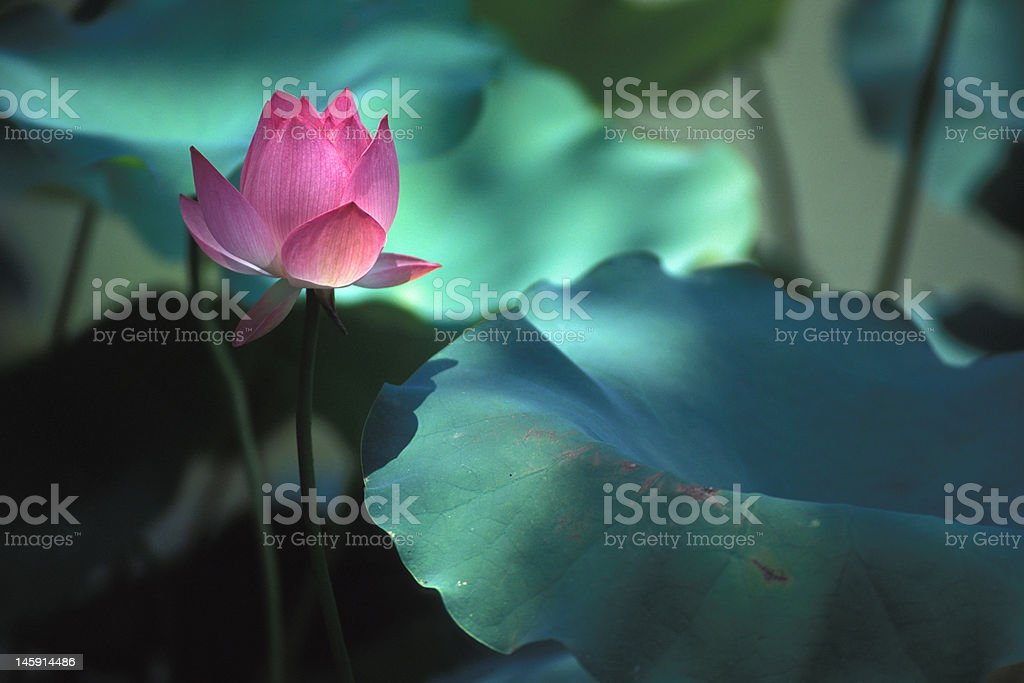 Lotus Illuminated by sunlight royalty-free stock photo