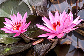 Lotus ( Nelúmbo)  in bloom.