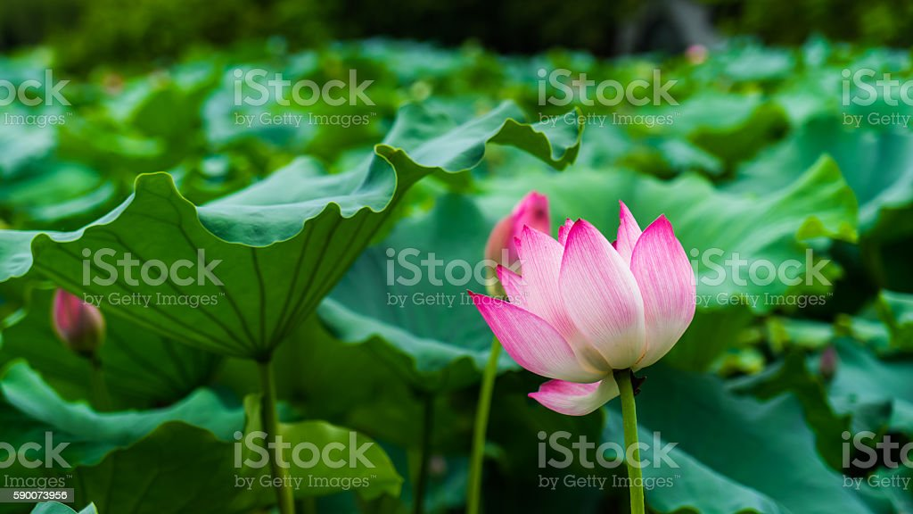 Lotus in summer stock photo
