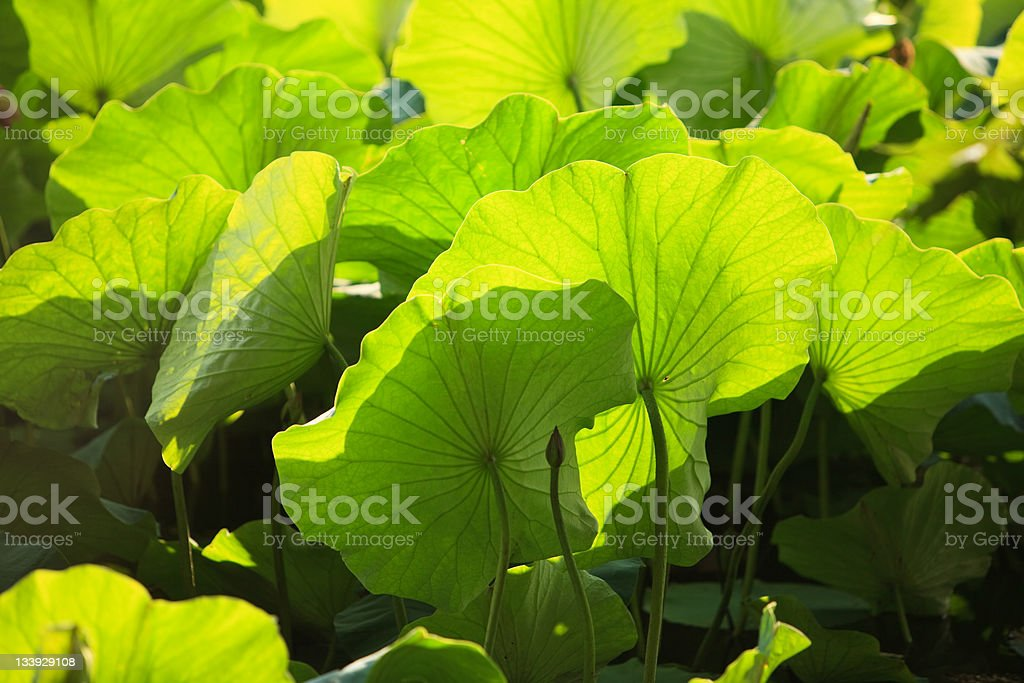 Lotus in the Green Lake, Kunming stock photo