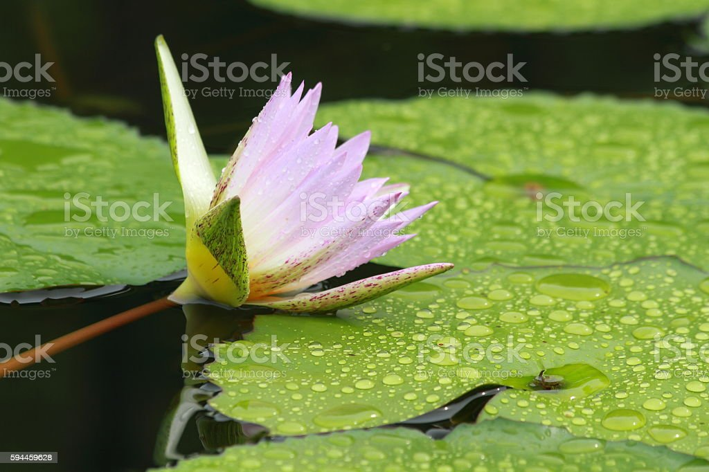 Lotus in the pond stock photo