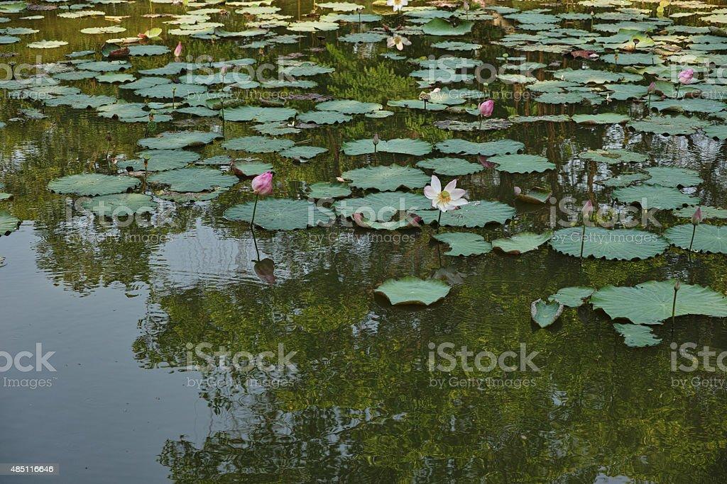 Lotus in The Pool stock photo
