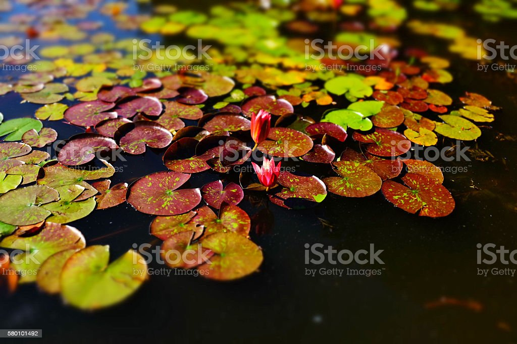 lotus in the pool stock photo