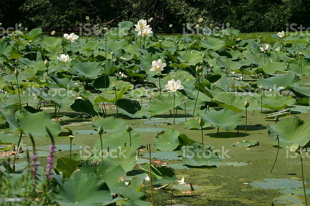 Lotus Landscape, Forest Park MA royalty-free stock photo