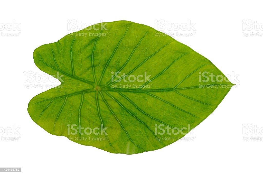 Lotus leaf against white background stock photo