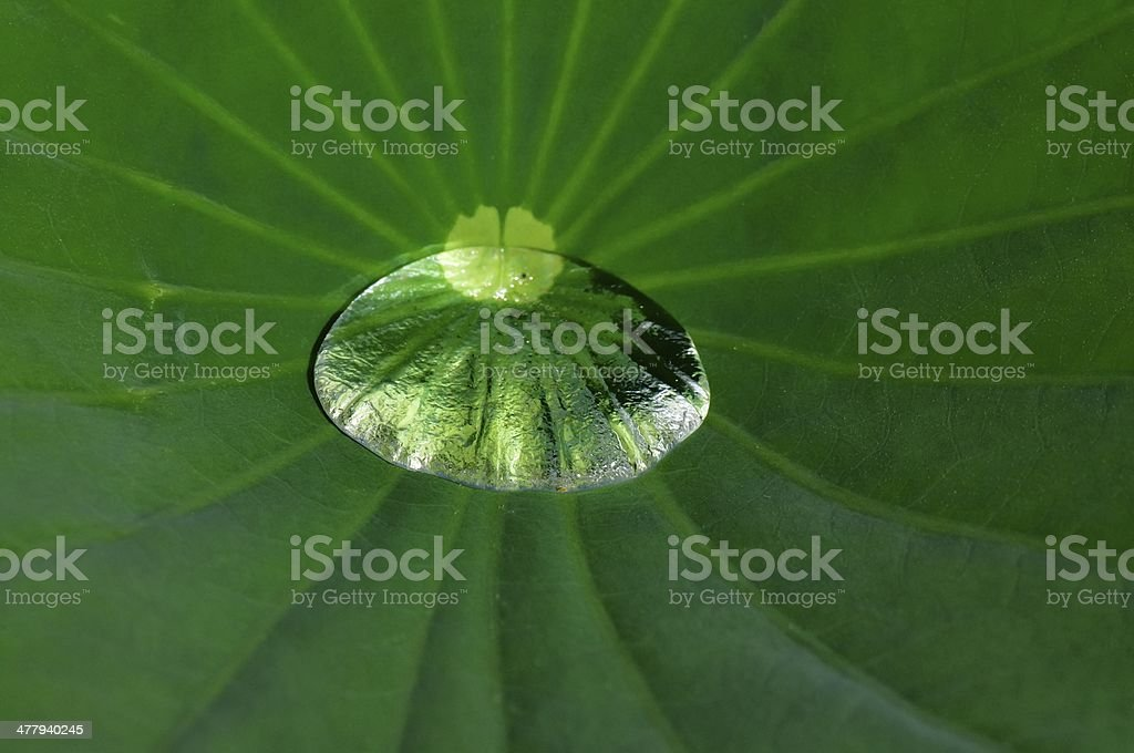 Lotus Leaf And Puddle stock photo