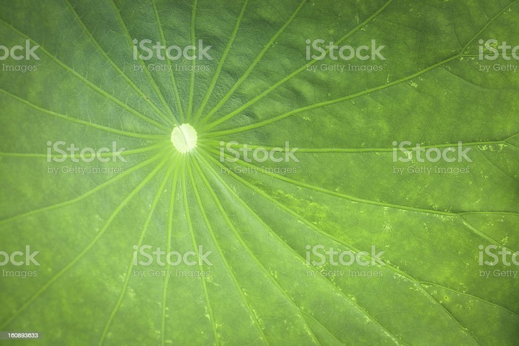 lotus leaf closeup royalty-free stock photo