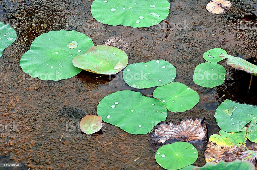 Lotus leaf cover the pond surface stock photo