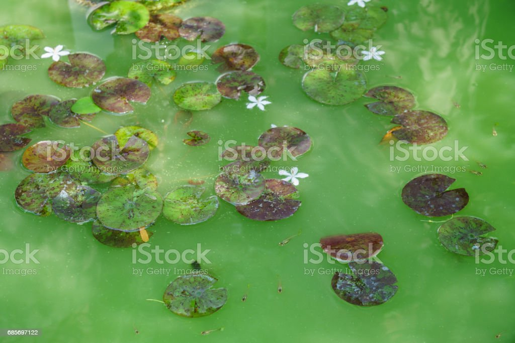 lotus leaf float on the green color water swamp stock photo