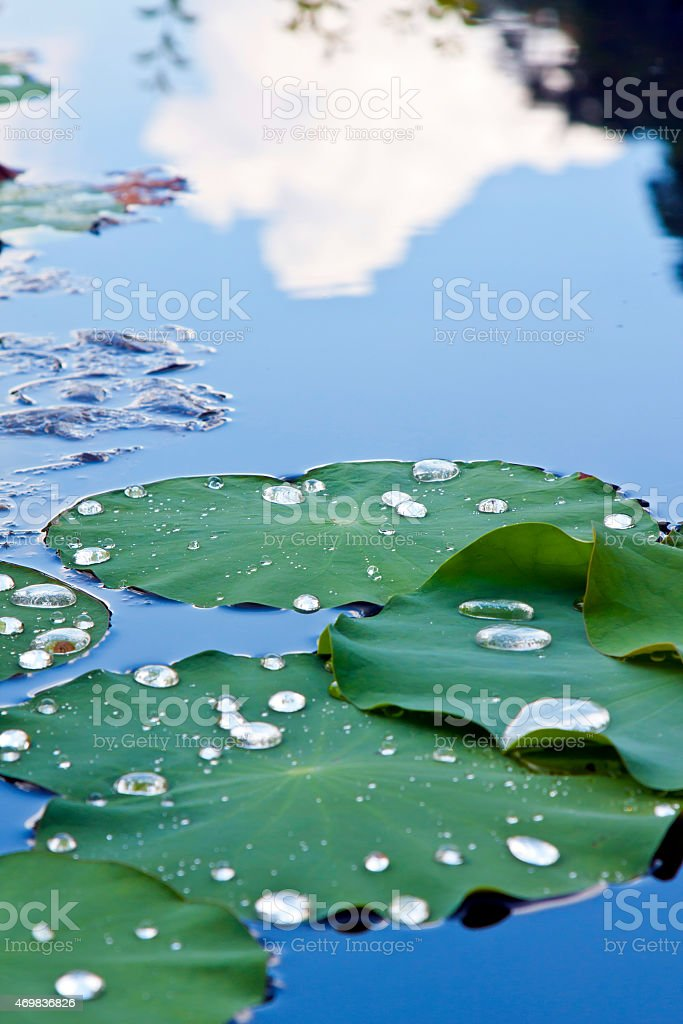 Lotus leaf in the garden stock photo