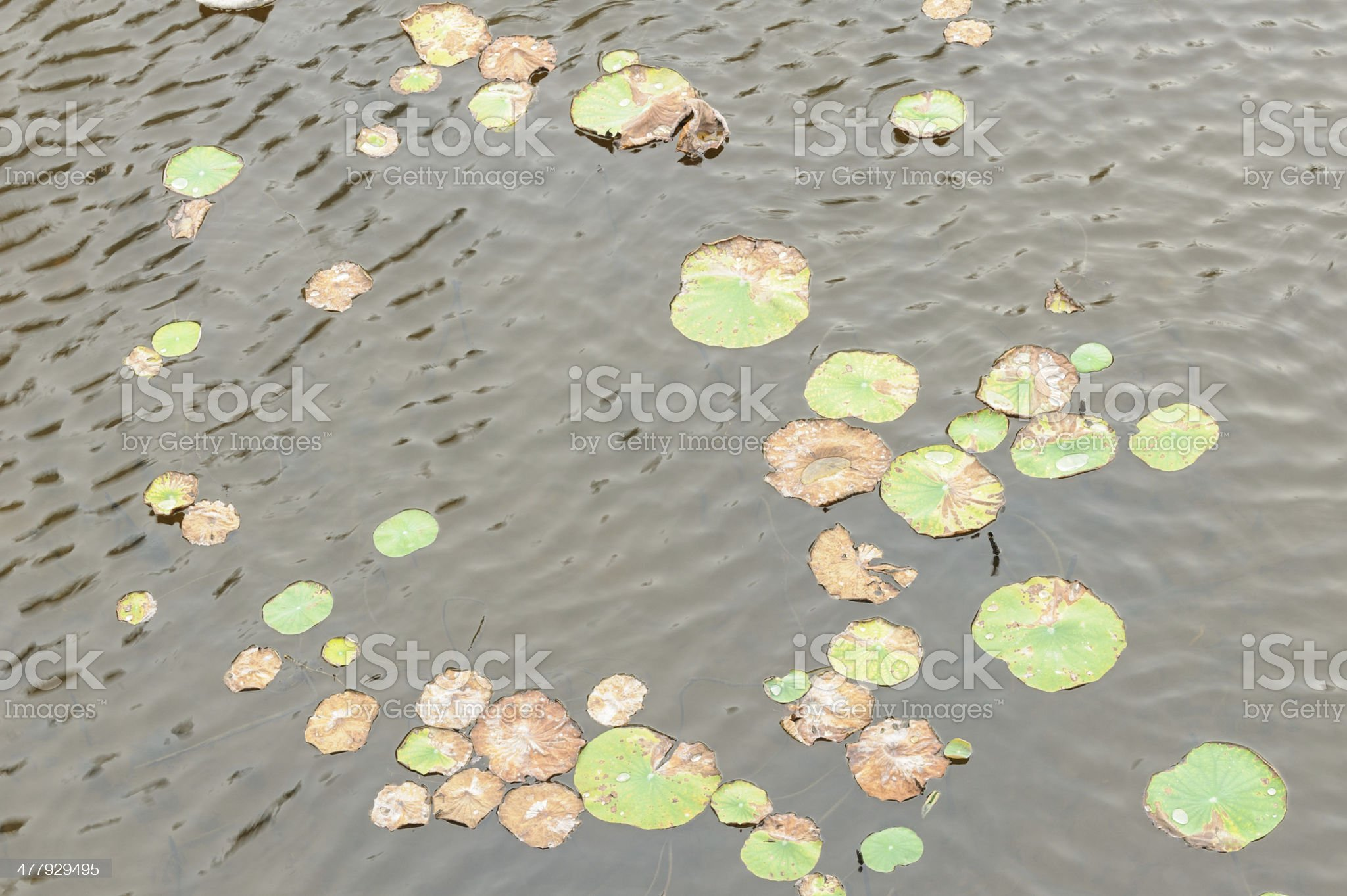 Lotus leaf in water royalty-free stock photo