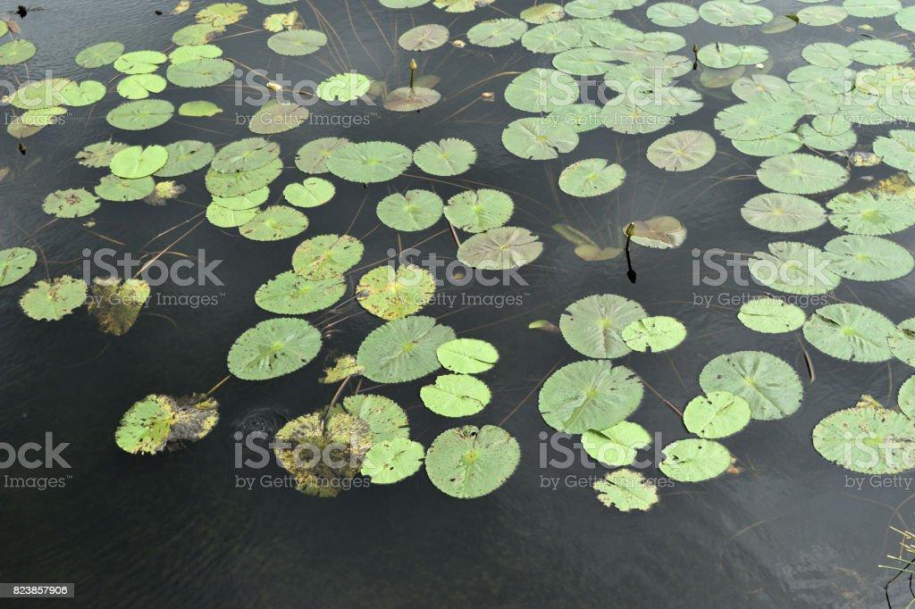 Lotus leaf on water stock photo