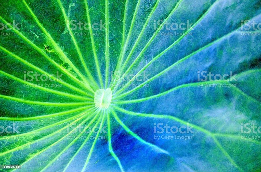 lotus hoja  foto de stock libre de derechos
