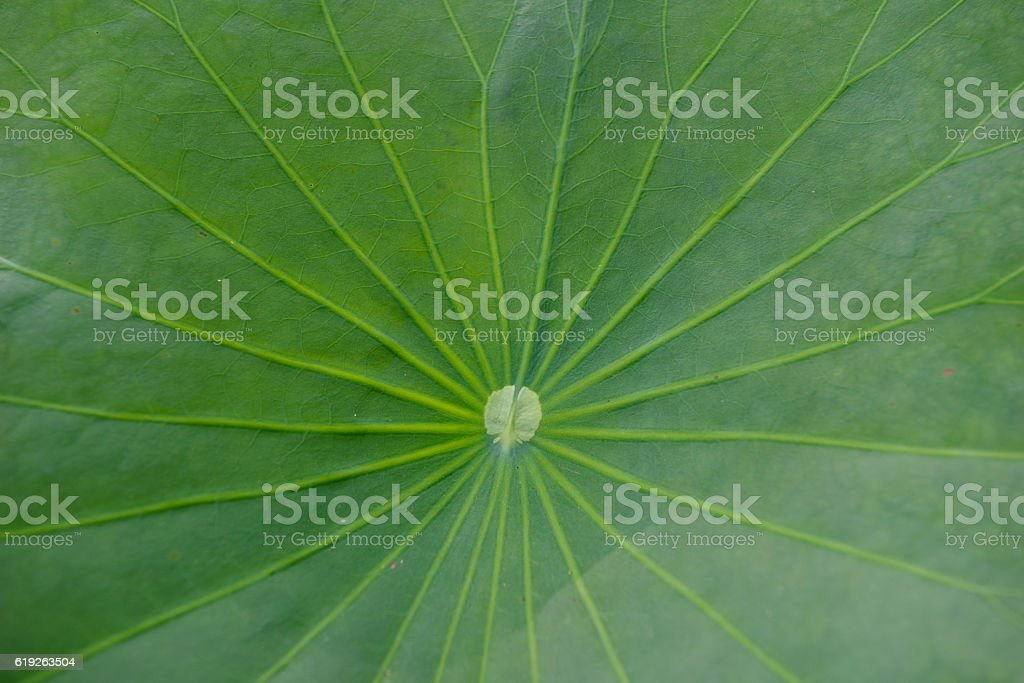 lotus leaf texture background stock photo